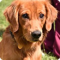 Adopt A Pet :: Goose - New Canaan, CT