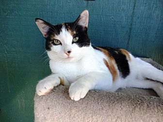 Domestic Shorthair Cat for adoption in Lathrop, California - Cameo