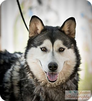 Siberian Husky Dog for adoption in Cedar Crest, New Mexico - Maya