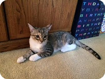 Domestic Shorthair Kitten for adoption in Alamo, California - Cherry