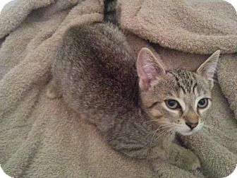 Domestic Shorthair Kitten for adoption in Lindsay, Ontario - Captain