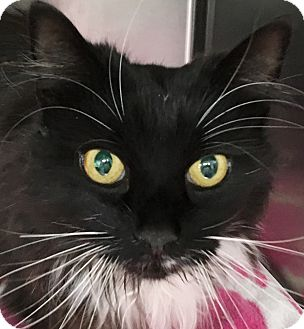 Domestic Longhair Cat for adoption in Clayville, Rhode Island - Sweet Marie