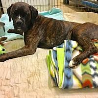 Adopt A Pet :: Barrett - Jacksonville, AL