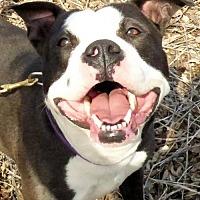 Adopt A Pet :: Uma - Catasauqua, PA