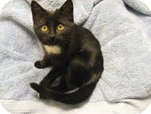 Domestic Shorthair Kitten for adoption in Eagan, Minnesota - Zoey
