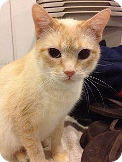 Siamese Cat for adoption in Byron Center, Michigan - Jordyn