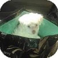 Adopt A Pet :: Meatballs - maltipoo - Phoenix, AZ