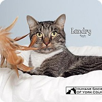 Domestic Mediumhair Cat for adoption in Fort Mill, South Carolina - Landry 5513