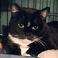 Domestic Shorthair Cat for adoption in Springfield, Oregon - Ta'nai