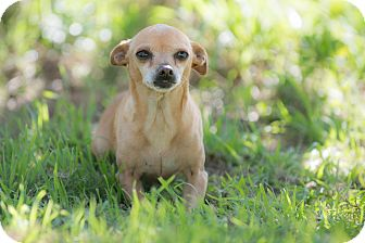 Chihuahua Mix Dog for adoption in Corona, California - Mimi
