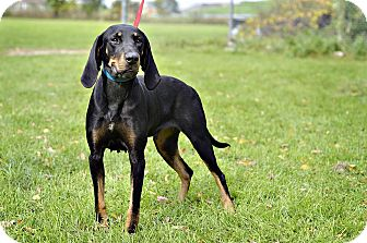 Black and Tan Coonhound Dog for adoption in Midland, Michigan - Henrietta