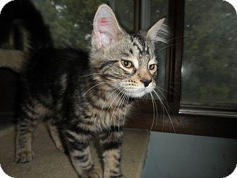 Domestic Longhair Kitten for adoption in Milwaukee, Wisconsin - Hypno