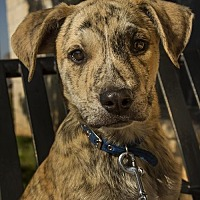 Adopt A Pet :: Puppy Buck - Norman, OK