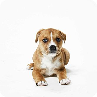 Pit Bull Terrier Mix Dog for adoption in Dallas, Texas - Lade