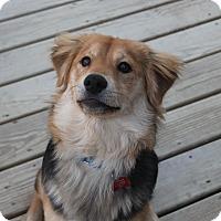 Adopt A Pet :: AJ - Bedford Hills, NY