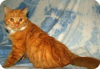 Maine Coon Cat for adoption in Norwich, New York - Sylvia