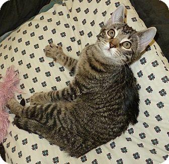 Domestic Shorthair Kitten for adoption in Lake Charles, Louisiana - Miss Kay