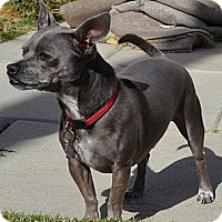Chihuahua Mix Dog for adoption in Simi Valley, California - Henry