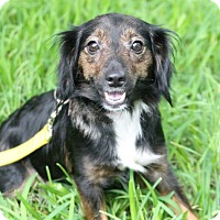 Adopt A Pet :: Harlequin - Austin, TX