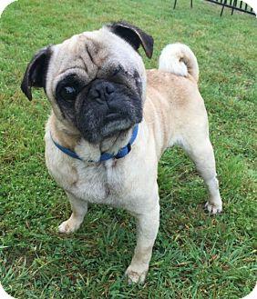Pug Dog for adoption in Grapevine, Texas - Budda Boy