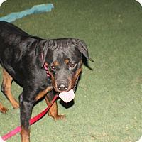 Adopt A Pet :: Bronx - Gilbert, AZ