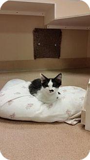Domestic Longhair Kitten for adoption in Cumming, Georgia - Wasabi