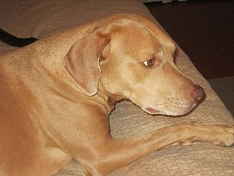 Vizsla/Labrador Retriever Mix Dog for adoption in Cerritos, California - Simon