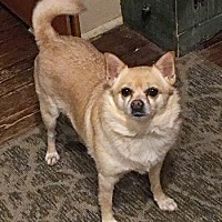 Chihuahua Dog for adoption in Lutherville, Maryland - Mimi
