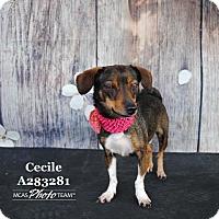 Adopt A Pet :: CECILE - Conroe, TX