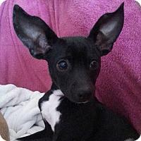 Chihuahua Mix Dog for adoption in Gaithersburg, Maryland - Dottie