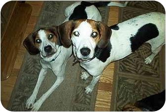 Foxhound Dog for adoption in Waldorf, Maryland - Sweet Pea