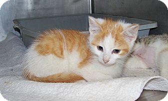 Domestic Shorthair Kitten for adoption in Dover, Ohio - Louie