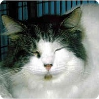 Adopt A Pet :: Rags - Medway, MA