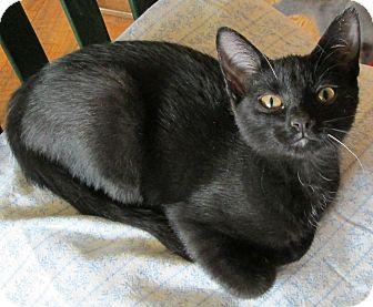Domestic Shorthair Cat for adoption in Buhl, Idaho - Dakota