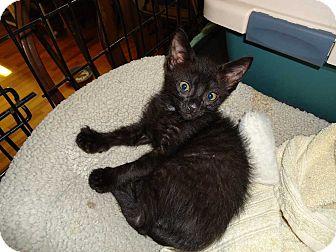 Domestic Shorthair Kitten for adoption in Central Islip, New York - Dodger