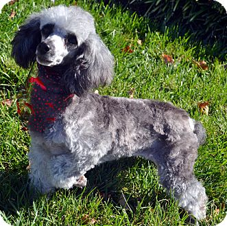 Poodle (Miniature) Dog for adoption in Bridgeton, Missouri - Dorothy-Adoption pending