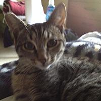 American Shorthair Cat for adoption in Orinda, California - Bruno Mars