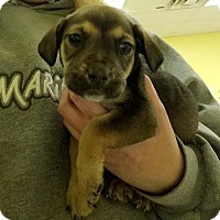 Boxer Mix Puppy for adoption in Cherry Hill, New Jersey - Jarrett