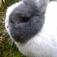 Netherland Dwarf Mix for adoption in Seattle c/o Kingston 98346/ Washington State, Washington - Chilly Willy