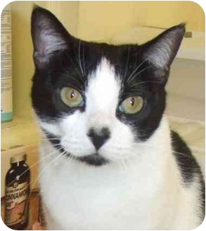Domestic Shorthair Cat for adoption in Lake Charles, Louisiana - Suzy