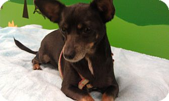 Chihuahua/Dachshund Mix Dog for adoption in New Windsor, New York - Sally