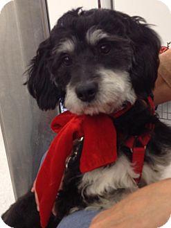 Havanese/Cocker Spaniel Mix Dog for adoption in Brea, California - Murphy