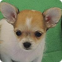 Adopt A Pet :: Teeny Tiny Sydney - La Habra Heights, CA