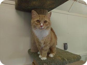 Domestic Mediumhair Cat for adoption in Owenboro, Kentucky - MADONNA!