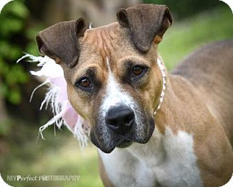 American Bulldog Mix Dog for adoption in Miami, Florida - S/C Harleen Q