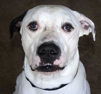American Bulldog Mix Dog for adoption in Fort Madison, Iowa - Hercules