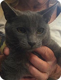 Russian Blue Kitten for adoption in Encinitas, California - Karina