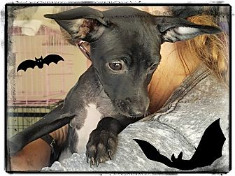 Miniature Pinscher Mix Puppy for adoption in Los Angeles, California - Bat Wing
