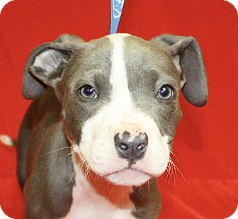 Pit Bull Terrier Mix Puppy for adoption in Jackson, Michigan - Donatello