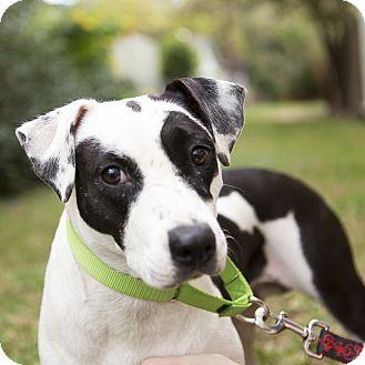 Labrador Retriever/Dalmatian Mix Dog for adoption in Houston, Texas - Sadie Bell